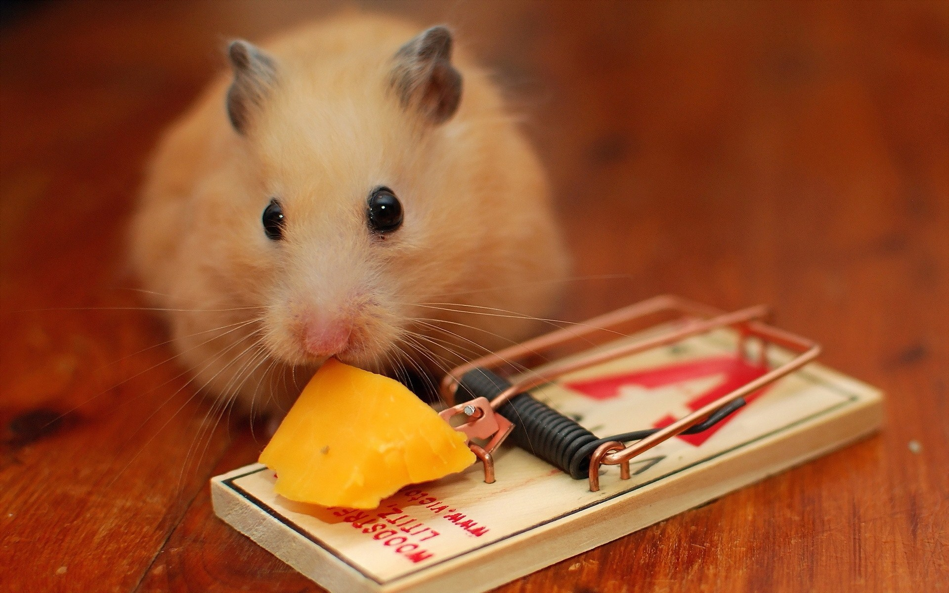 mouse-mousetrap-cheese-wide-hd-wallpaper