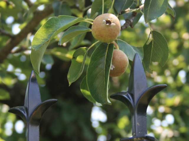 Today, the Endicott Pear Tree is the oldest surviving cultivated tree in America.
